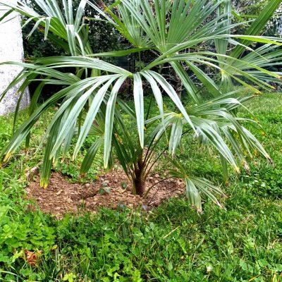 Palmier à chanvres