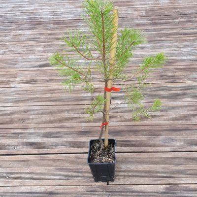 Plant Pin Parasol