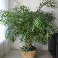 Vends grand palmier aréquier en pot