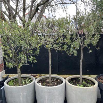 Vend 3 oliviers en pot