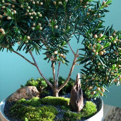Bonsaï, composition végétale, plantes