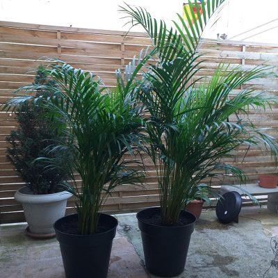 Palmier d'intérieur - Areca - 2 Palmiers