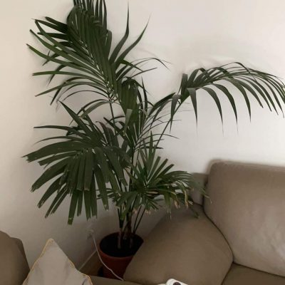 Palmier d'intérieur 1m60 de hauteur