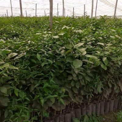 Plantes citronner, avocatier,caroubier