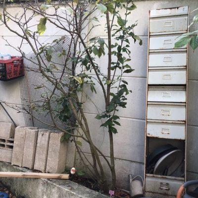 Magnolia soulangeana rickii en terre