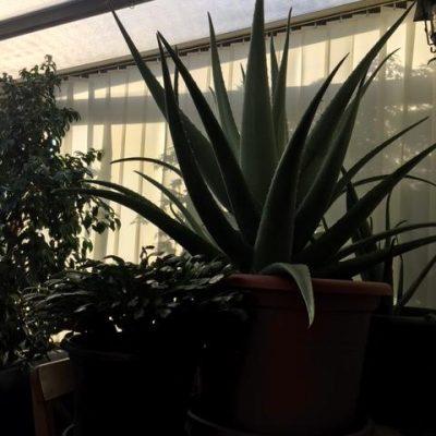 Aloe vera gigante